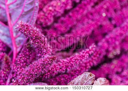 Amaranth (Love-Lies-Bleeding) on Flower Bed