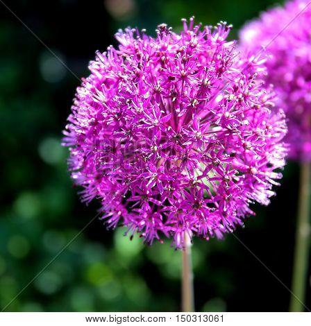 Purple onion flower (allium giganteum), ornamental garden plant.