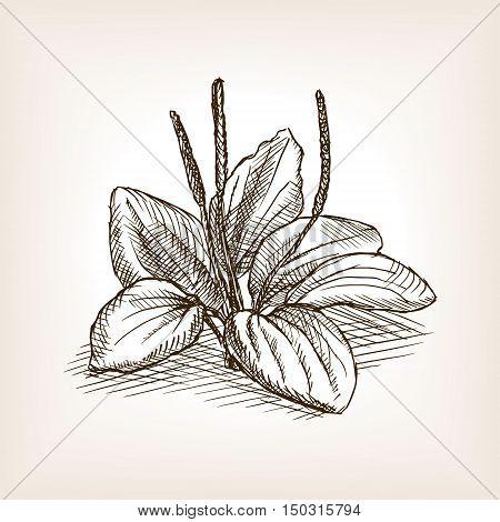 Plantago plant sketch style vector illustration. Old hand drawn engraving imitation. poster
