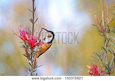 Australian native Eastern Spinebill, Acanthorhynchus tenuirostris, feeding on nectar from a Mountain Devil flower (Lambertia formosa), Royal National park, Sydney, New South Wales