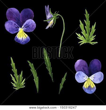 vector set of watercolor drawing violet flowers, buds and leaves, pansies painted wild plants, botanical illustration in vintage style, color drawing floral set, hand drawn illustration