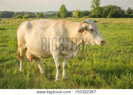 White cow at countryside, meadow in the background, sideways.
