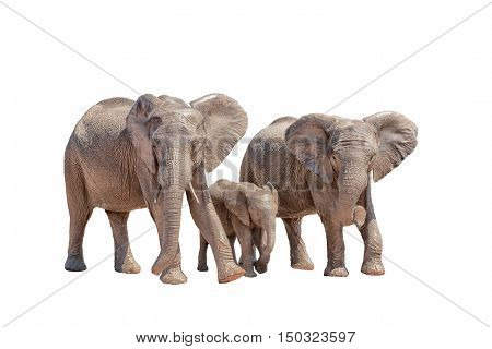 Three young African elephants walking isolated on white