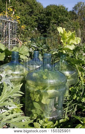 Lettuces growing under large plastic water bottles in an allotment