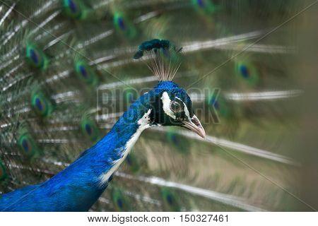 Indian peafowl (Pavo cristatus), also known as the blue peafowl. Wildlife bird.