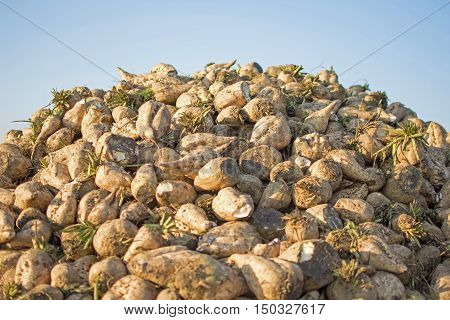 Sugar Beet Against Blue Sky. Pile Of Organic Sugar Beet At The Field After Harvest.