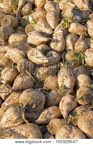 Sugar Beet Background. Pile Of Organic Sugar Beet.