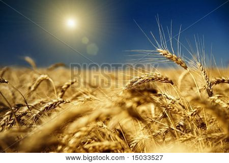 gold wheat and blue sky with sun