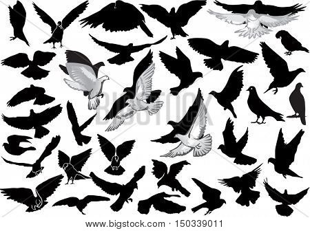 illustration with pigeon collection isolated on white background