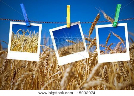 photos of wheat hang on rope with pins against wheat field