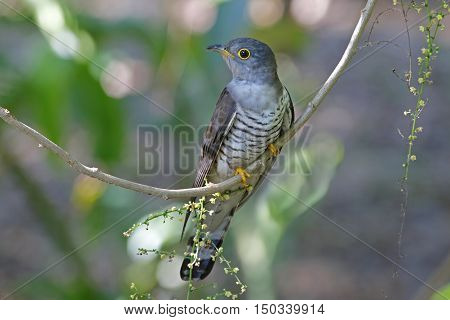 Indian cuckoo Cuculus micropterus Birds of Thailand