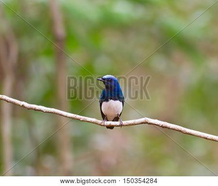 beautiful Blue-and-white Flycatcher (Cyanoptila cyanomelana) possing on the branch