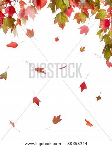 Red Maple in Vivid Autumn Colors Isolated on White Background