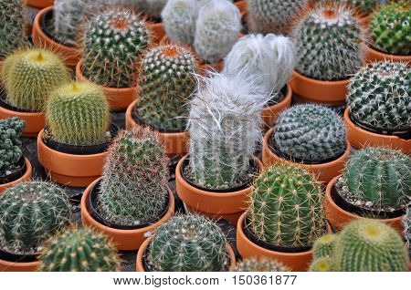 Cute assorted mini cactus plants in clay pots