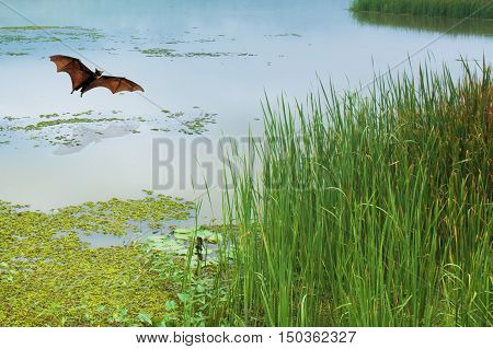 Bat flying over calm river in summer