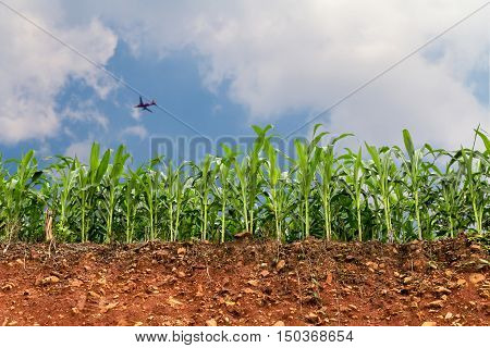 Seedling Corn Field On Red Lateritic Soil Cross Section With Plane And Nice Sky