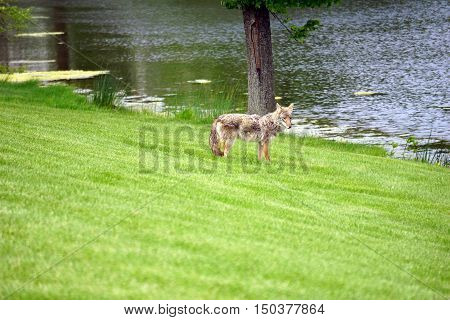 A wild coyote (Canis latrans) stands beside the shore of a small lake in a subdivision of Joliet, Illinois during May.