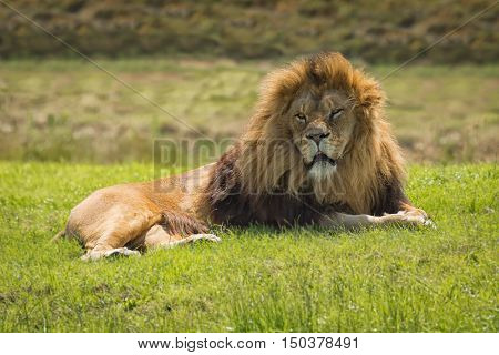 A male lion lazing in the sun lying down resting and looking forward