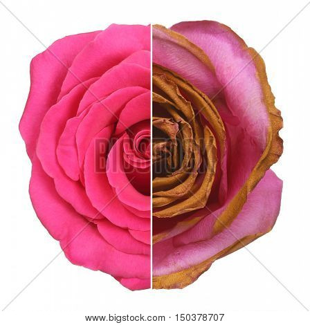 Wrinkled, dry, dehydrated flower, and fresh rose isolated on white background. Aging concept.