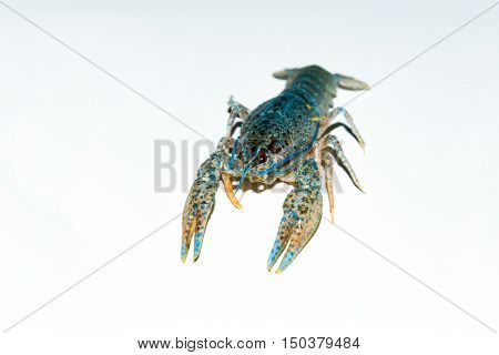 alive crayfish isolated on white background live crayfish closeup fresh crayfish.  Beer snacks, river crayfish