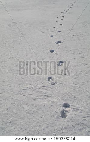 Tracks On Hard Snow.