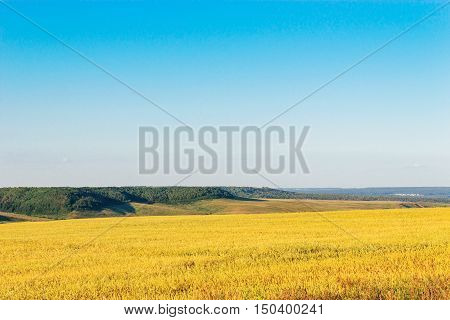 Yellow wheat field and distant hills on a summer day
