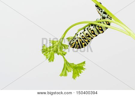 Butterfly larvae eats fresh tender curly parsley leaves down to the stem.
