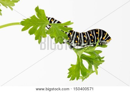 Close up of Black Swallowtail butterfly larva resting on parsley leaf with copy space.