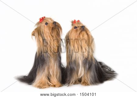Two Yorkshireterriers On White Background