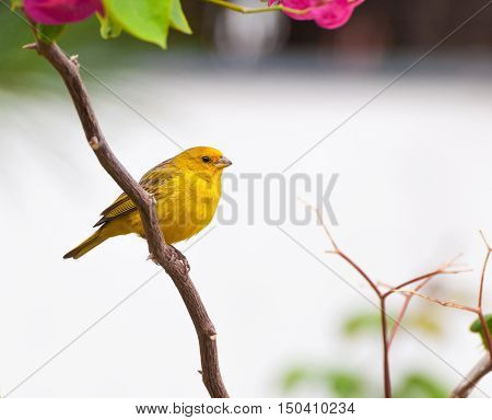 Small yellow bird on tree branch with thorns and pink flowers. Bird kwon as canario da terra verdadeiro in Brazil.