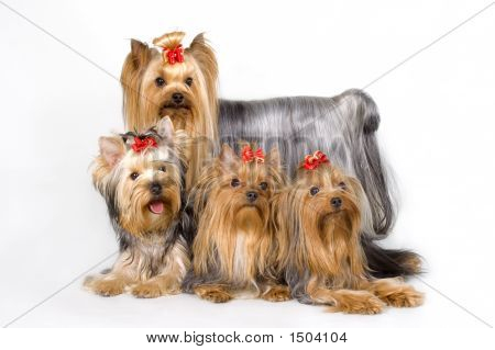 Four Yorkshireterriers On White Background