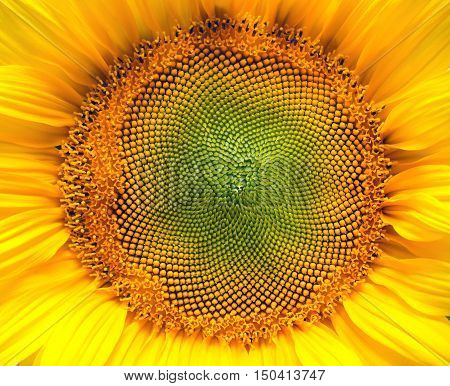 Core of of the flower texture. Sunflower close-up. Seeds and oil. Flat lay top view. Macro