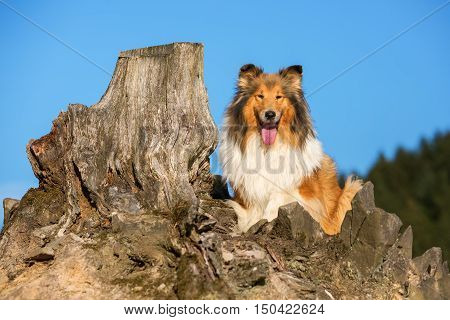 Portrait Of A Collie Dog