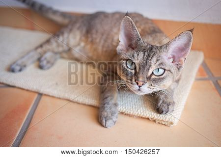 Beautiful Devon Rex cat is laying down on a scratching board. Devon Rex cat likes Cat Scratch Mat. Cat scratching Board provides your cat a place to play and stretch. Keeping cats claws in top shape