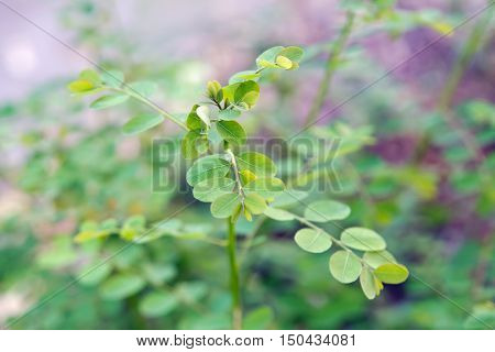 Moringa Leaf (benefits Include Reducing High Blood Pressure, Eliminating Water Weight, And Lowering