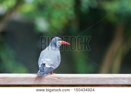 Inca Tern (larosterna Inca) Spotted In Forest.