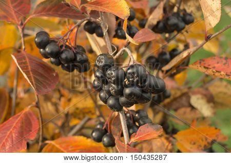 Ripe fruits of black rowanberry on background autumn sheet