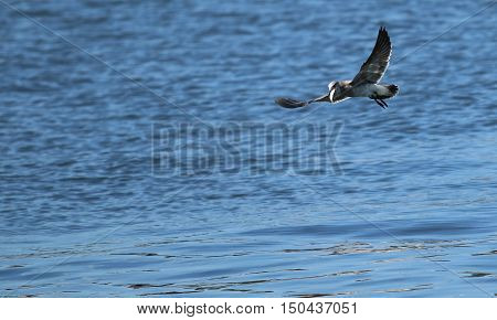 Seagull flying over the water with a fish in its mouth