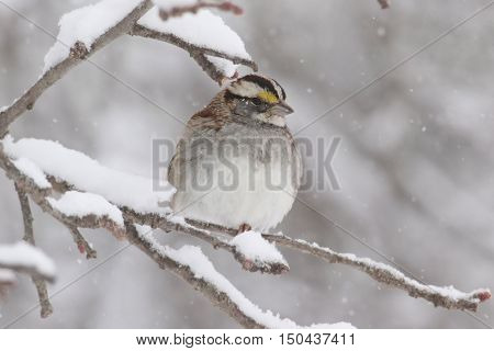 White-throated Sparrow (zonotrichia albicollis) perched on a tree limb in falling snow