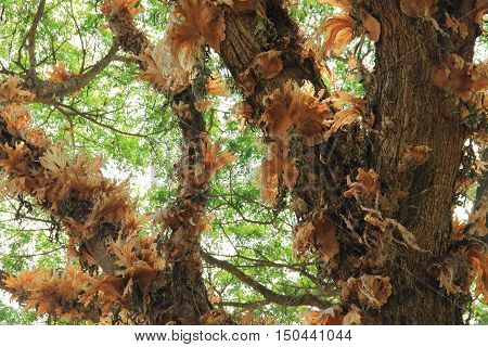 Dry epiphytes on the big tree. Epiphytes in the nature