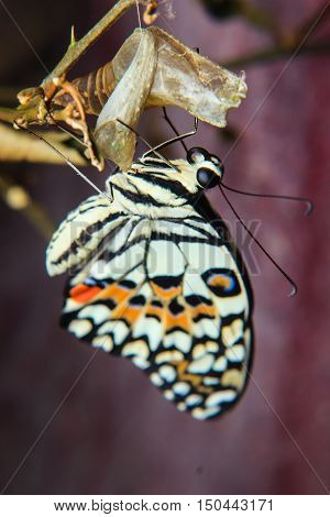 Close up of newly emerged butterfly on branch
