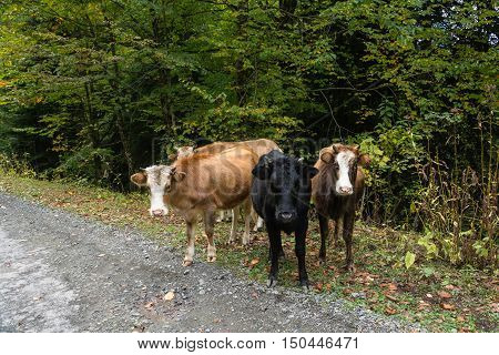 Four the calf on the side of the road amid the forest.
