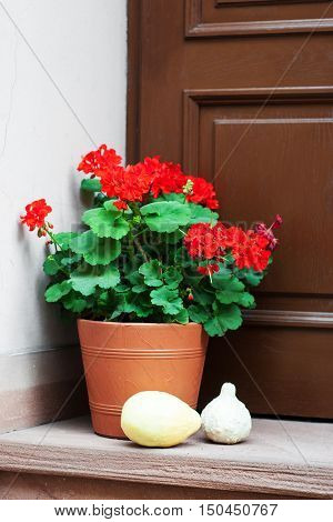 Pot With  Geranium Flowers