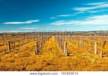 Grape vines in McLaren Vale South Australia. Color-toning apllied