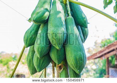 Papaya on plant the papaya tree in the garden.
