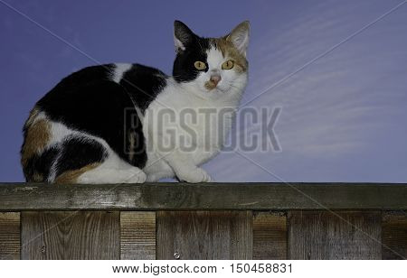 A calico cat, with the colors white, brown and black,  looking into lens, sitting on a high fence against a blue evening sky. Almost all three color cats are female.