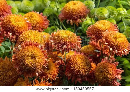 close up of orange pompon chrysanthemum flowers
