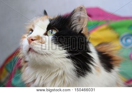 The close-up portrait of beautiful calico cat