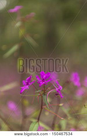 Pink Flower (Impatiens patula Craib)  in field, umpang, Tak, Thailand / (Sentsitive focus)