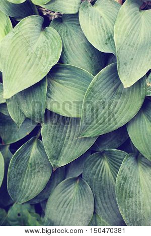 Vertical close up of textured blue green hosta leaves